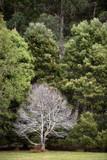 Dead tree in front of large healthy forest trees - 230019064