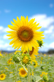 Sunflower field In park under the bright sky.
