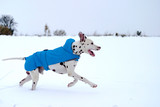 Dalmatian dog with raincoat, playing and running in the snow