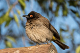 African redeyed bulbul in Augrabies Falls National Park - 230074806