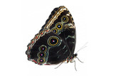 black  butterfly isolated