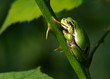 tree frog on stalk with thorns