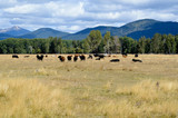 Grazing beef steers with mountains in the background