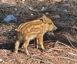 European wild boar piglet with stripes, characteristic feature of piglets. Small piglet - 230124857