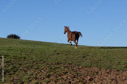 Pferd galoppiert seinen Weg in die Freiheit