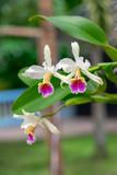 Orquídea - Cattleya rex