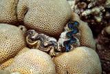 bohrende oder eingewachsene Riesenmuschel in einer Steinkoralle - 230139874
