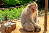 Japanese macaque or Macaca fuscata monkey meditating happy at Iwatayama Monkey Park of Arashiyama town in Kyoto prefecture, Japan.