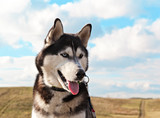 Dog breed Siberian husky portrait on the background of fields and blue sky