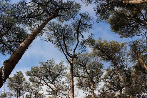 松の木々と青空