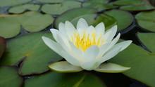 """Постер, картина, фотообои """"Lotus in Pond"""""""