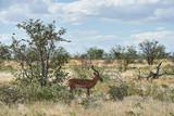 Blackfaced impala (Aepyceros melampus petersi)
