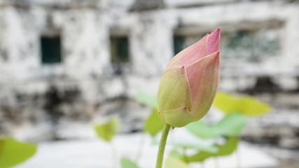 Pink-Green Lotus