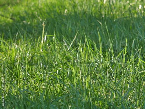 green grass - 230153452