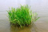 hydrophyte in a river - 230160666