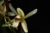 Yellow wild orchid,dark background. Five petals of yellow petals.The pistils are white and maroon and yellow.Yellow stamens on top. The flower is a bouquet.Found in the wild in Thailand.