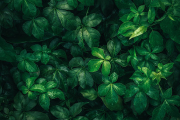 Foliage of tropical leaf in dark green with rain water drop on texture, abstract pattern nature background.