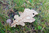 dry autumn oak leaf in large drops of rain lies on the grass