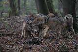 Wölfe im Rudel im Wald