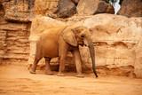 Elefante Africano - Toma 3 (toma lateral) - 230189457
