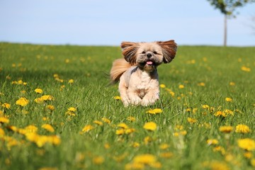 beautiful small lhasa apso is running in a field of dandelions in the garden