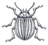 Colorado potato beetle tattoo art. Potato bug.Leptinotarsa decemlineata. Dot work tattoo. Insect drawing.