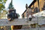 Pony und Esel schauen gemeinsam über den Weidenzaun auf einem Bauernhof - 230220881