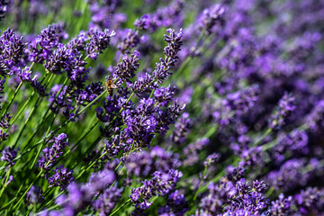 Lila Labendelfeld mit Biene an einem Stengel