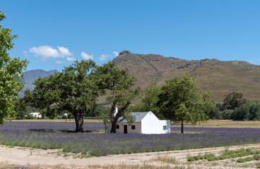 Field of lavender around a workers cottage at La Motte in the Franschhoek Valley, Western Cape, South Africa.