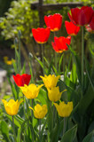 group of beautiful tulips