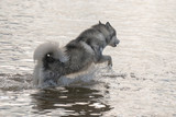 Young Siberian Husky dog jumping in the water
