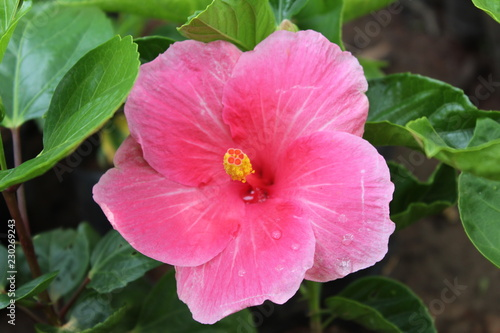 red hibiscus flower in the garden - 230269243