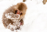 Little cute japanese snow monkey playing in the snow. Nagano Prefecture, Japan. - 230270835