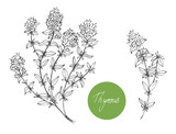 Set of medical plants. Thyme. Hand drawn. Vector illustration - 230281823