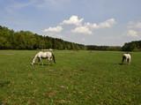 Pferdeweide mit gruenem Gras, Pferden und strahlend blauem Himmel, Horse pasture with green grass, horses and bright blue sky - 230282435