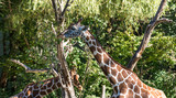 Giraffe - Giraffa camelopardalis - 230288283