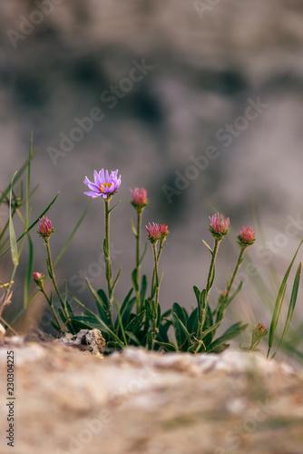 Wild flower on rock - 230304225