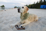 dirty dog after walks. dog breed labrador. The dog is a golden retriever. dog on the walk - 230309049