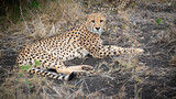 South Africa cheetah - 230339499