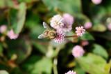 ミツバチとピンクの小花