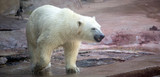 A polar bear at Moscow Zoo in Russia - 230360460