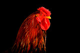 rooster with red feathers isolated on white background