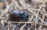European rhinoceros beetle in the forest
