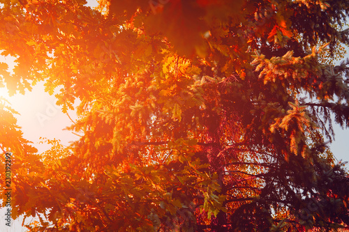 Autumn colored leafs on the tree branches. - 230392292