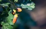 Acorns on oak tree twig - 230399064