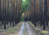 Dirt road in conifier forest - 230399084