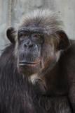 Common chimpanzee (Pan troglodytes) - 230399269