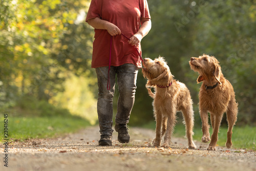 Young and old Magyar Vizsla. female dog handler is walking with her two odedient dog on the road in a forest.