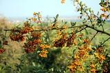 Feuerdorn mit orangenen Beeren - 230425808