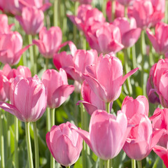 beautiful pink tulips blooming in the summer sunny field